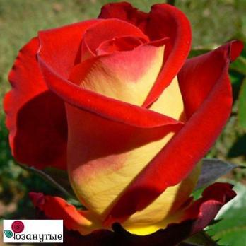 Роза Френдшип / Friendship (чайно-гибридная)