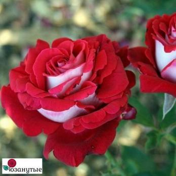 Роза Люксор / Luxor (чайно-гибридная)