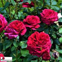 Роза Четырех ветров /  Rose des 4 Vents (чайно-гибридные)