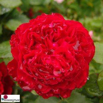 Роза Травиата / Traviata (чайно-гибридные)