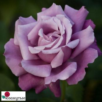 Роза Шарль Дэ Голль / Charles De Gaulle (чайно-гибридные)
