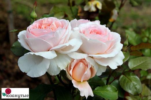 Роза Андре Ле Нотр / Andre Le Notre (чайно-гибридные)