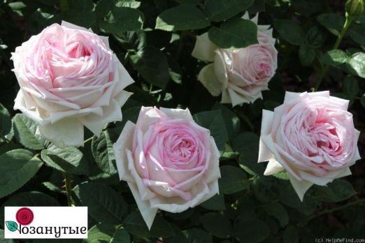 Роза Эмейзинг Грейс / Amazing Grace (чайно-гибридные)