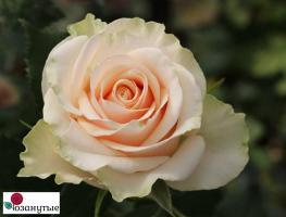 Роза Талия / Thalia (чайно-гибридная)