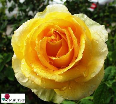 Роза Мохана / Mohana (чайно-гибридная)