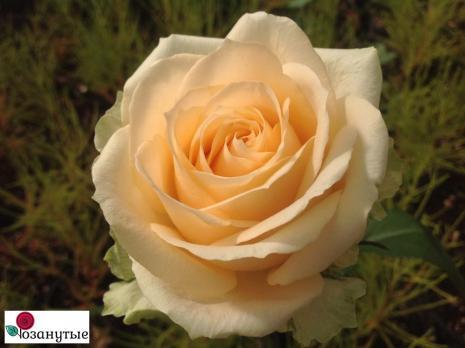 Роза Пич Аваланж / Peach Avalanche (чайно-гибридные)