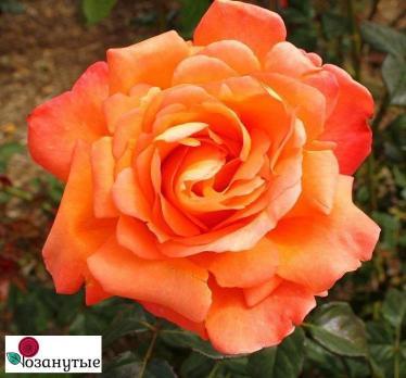 Роза Вуду / Voodoo (чайно-гибридные)