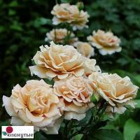 Роза Хани Дижон / Honey Dijon (флорибунда)