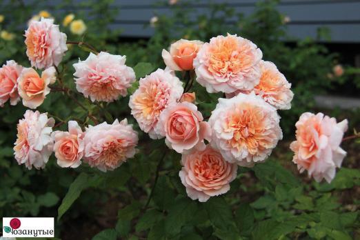 Роза Версайни / Versigny (шраб)