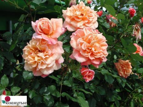 Роза Алоха / Aloha (плетистые)