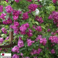 Роза Блю Перенниал / Perennial Blue (плетистые)