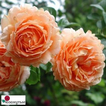 Роза Полька / Polka (плетистые)