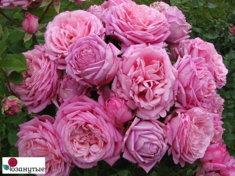 Роза Бенвенью / Bienvenue (плетистые)