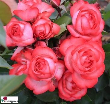 Роза Антик / Antike (плетистые)