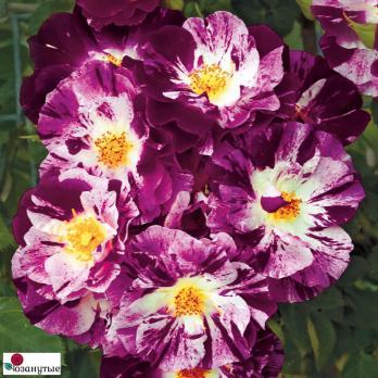 Роза Перпл Сплеш / Purple Splash (плетистые)