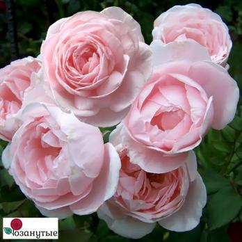 Роза Нахема / Nahema (Плетистые)
