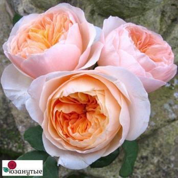 Роза Джульетта | Juliet (Английская)