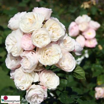 Роза Букет Парфэ /  Bouquet Parfait