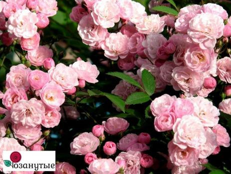 Роза Хевенли Пинк / Heavenly Pink (мускусные)