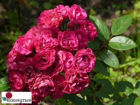 Роза Динки / Dinky (мускусные)