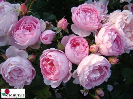 Роза Септе дайл / Scepter'd Isle (английские)