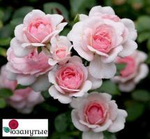 Роза Лавли Мейян / Lovely Meilland (почвопокровные)