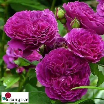 Роза Пёрпл Лодж /  Purple Lodge (спреи)