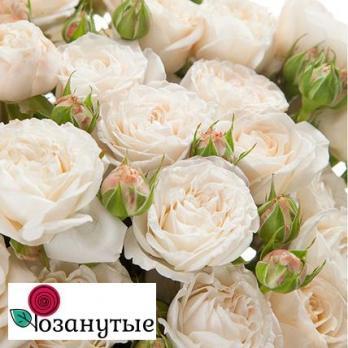Роза Бомбастик / Bombastic (спреи)